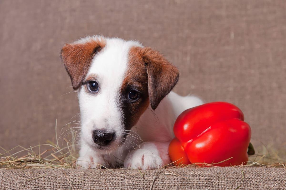Dürfen Hunde Paprika essen - Das solltest du beachten