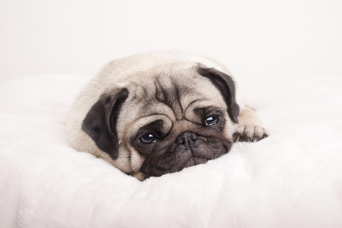 Können Hunde weinen? Die Gefühlswelt des Hundes