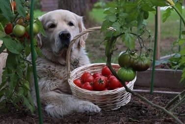 Dürfen Hunde Tomaten essen - Das ist zu beachten