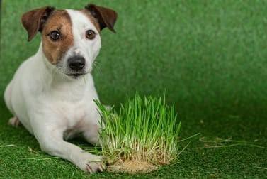 Warum fressen Hunde Gras? Ist das gefährlich?