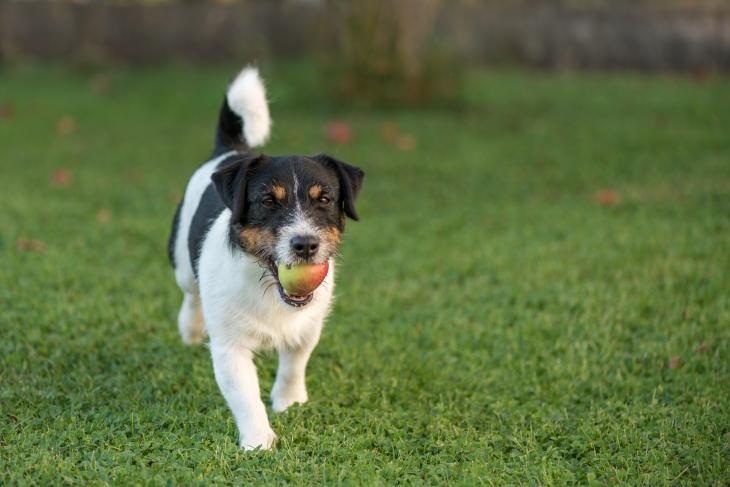 Wann Äpfel für Hunde gesund sind