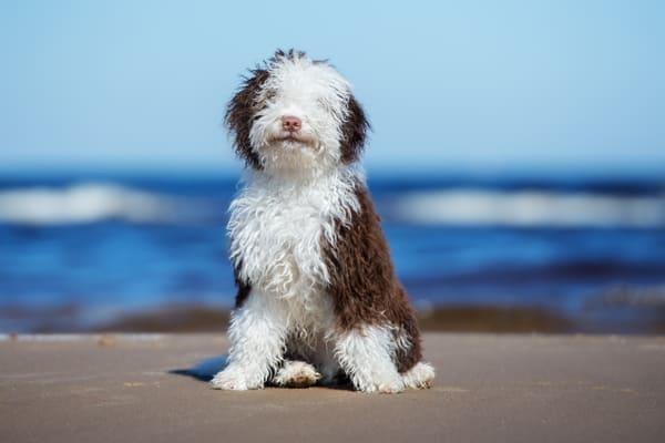 Der spanische Wasserhund: Treuer und mutiger Begleiter